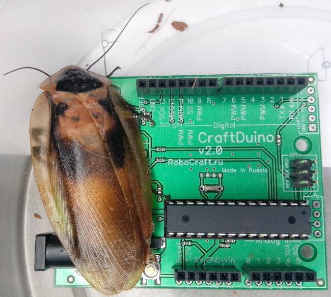 таракан Мёртвая голова и CraftDuino