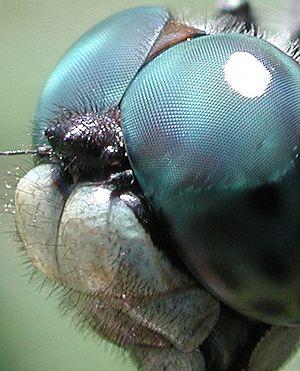 глаза стрекозы